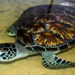 If you love the beach, hot weather, and helping sea turtles; this project was made for you! You can help ensure the survival of these adorable turtles by assisting in their conservation.