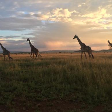 Giraffes at sunset in Tanzania