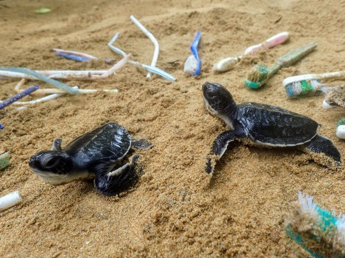 Baby sea turtles surrounded by plastic waste