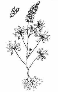 Lupine (Lupinus perennis-wild; Lupinus polyphyllus