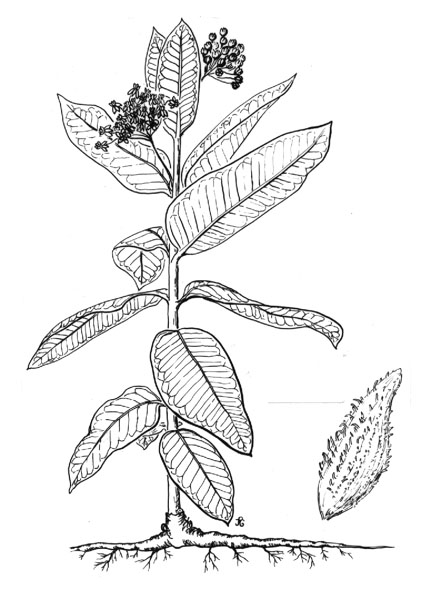 Tobacco Plant Coloring Pages