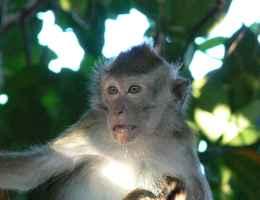 macaque Belitung Indonesie