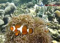 poisson clown Belitung Go Belitung