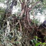 arbre foret Belitung Indonésie Go Belitung