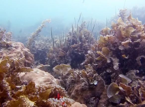 Poissons tetes en bas Belitung Indonesie