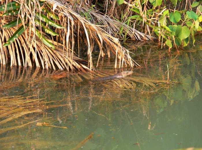 Biawak Belitung Indonésie