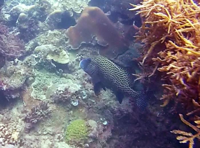 Poisson Melidang Belitung Indonésie Go Belitung