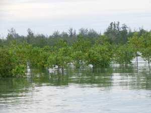 Mangrove-2-HKm-Seberang-Belitung-Indonésie