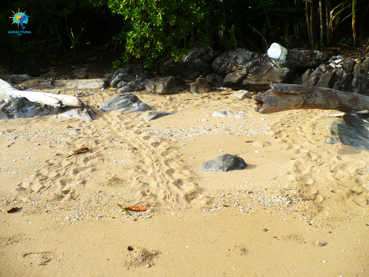 conservation des tortues de mer Belitung GoBelitung Indonesia