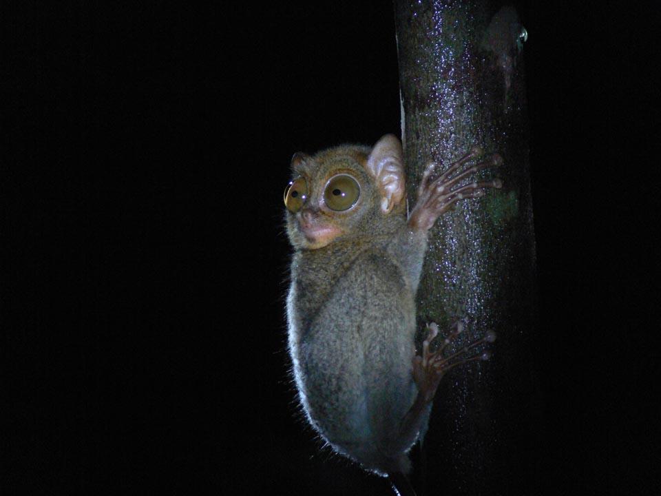 Tarsius Saltator Bukit Peramun Belitung gobelitung indonesia