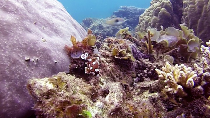 Poisson danseuse de flamenco Belitung Indonesie Go Belitung