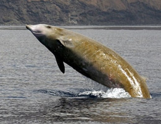 Phot of Cuvier's Beaked Whale