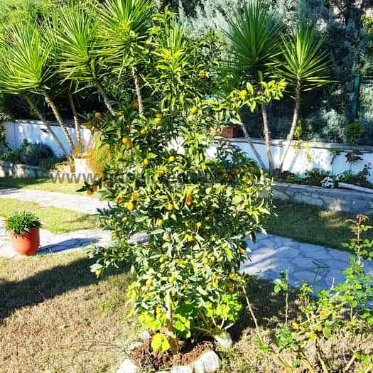 Kumquat Tree of the secluded villa with private pool