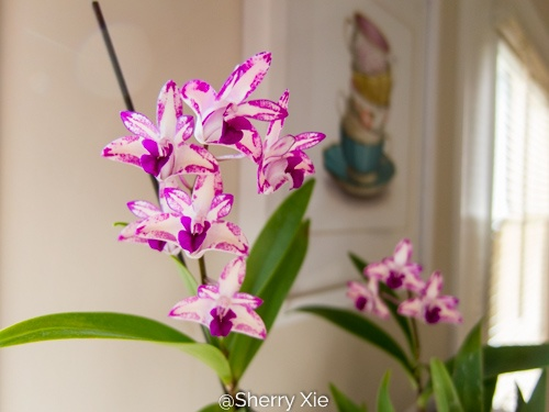 Dendrobium King Zip Red Splash