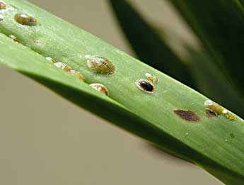 Orchid Pests Control