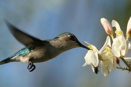 Pszczeli koliber