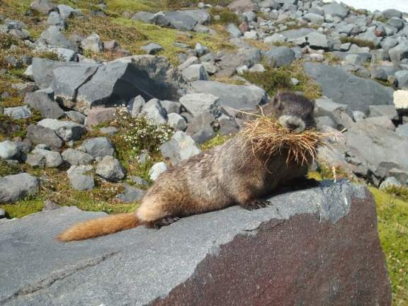 A Friendly Neighborhood Marmot