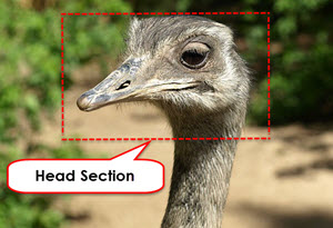 Ostrich Head to Illustrate Head Section Website