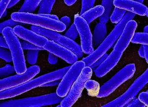 Escherichia-Coli-bactérie