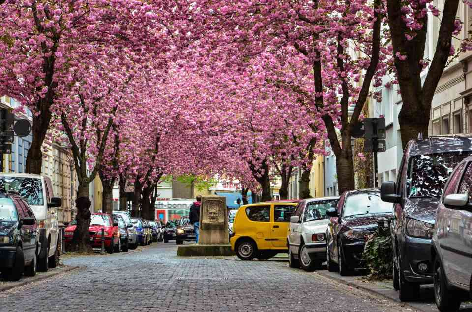19368265 - rows of cherry blossom trees on heerstrasse (cherry blossom avenue) in bonn in germany