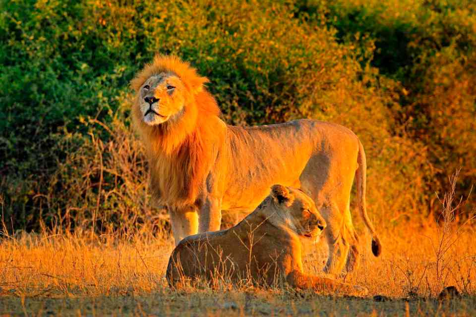 Male and female, evening orange sun, during sunset, Chobe National Park, Botswana, Africa. African Lion, Panthera leo bleyenberghi, mating action scene, animal behaviour in the nature habitat,