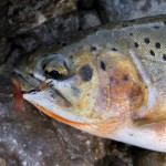 TROUT 3 iStock_000018151472Small