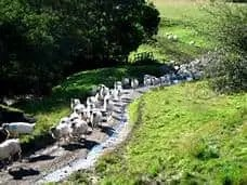 sheep on move