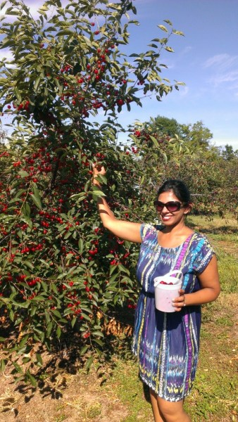 Unpicked cherries at Seaquist Orchard, Door County