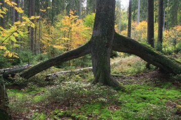 Stilted root at Boubin Virgin Forest