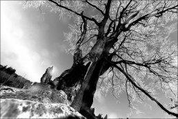 Sumava tree