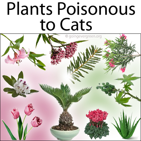 Plants Which Are Toxic/Poisonous to Cats