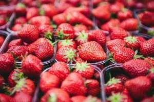 Erntefrische Erdbeeren