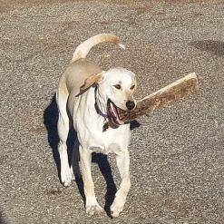 dog helping firewood volunteers