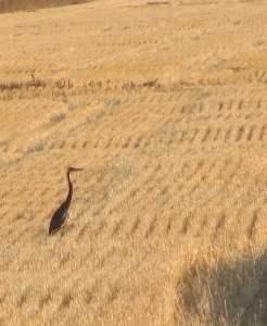 Sandhill Crane In Stubble Field