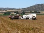 Potato bulker and spud trucks in potato field