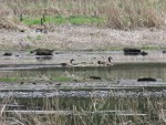 A family of geese swim in a pond on the Running Y Ranch, near Klamath Lake.
