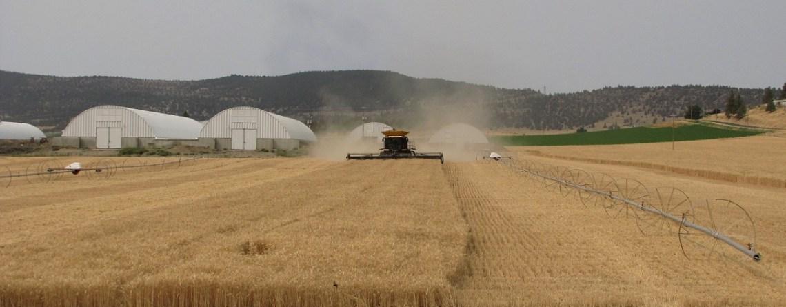 Grain Harvest Begins!