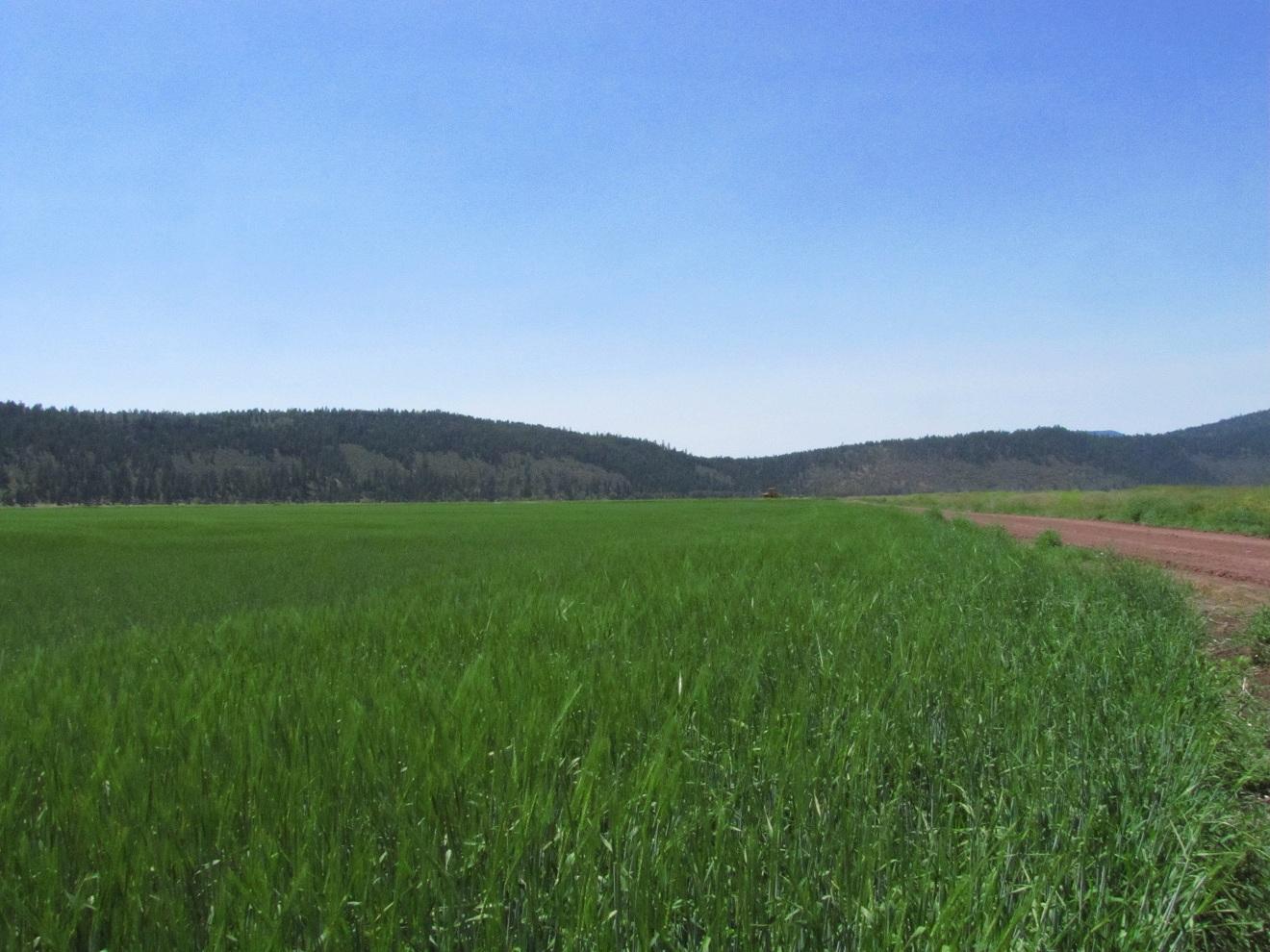 Running Y Grain Field Gold Dust Amp Walker Farms