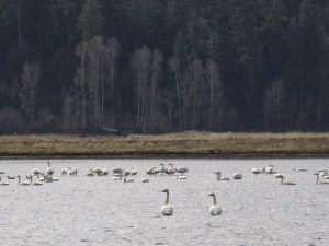 A pair of swans look south as they join the flock in a flooded field on the Running Y Ranch.