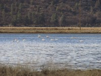Swans swim in a flooded field on the Running Y Ranch operated by Walker Brothers.