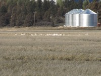 Swans in a cut grain field with silos in the background at the Running Y Ranch near Klamath Falls, OR.