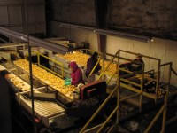 Employees sort through chipping potatoes looking for culls in Gold Dust's packing shed in Malin, Oregon.