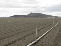 A field has solid set irrigation pipe near Newell, CA.