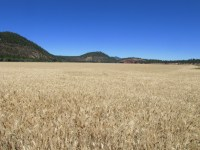 An un-cut wheat field on the Running Y Ranch in Southern Oregon.