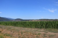 A photo of an organic corn field grown by Walker Brothers on the Running Y Ranch near Klamath Falls, Oregon.