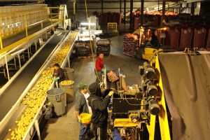 Gold Dust Potato Processors' packing shed during shipping season.