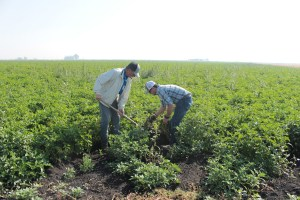 Matt and Drew Huffman digging up organic Waneta chipping potatoes in a field near Malin, OR and Tulelake, CA during Gold Dust and Walker Farms' 17th annual Open House Field Day.