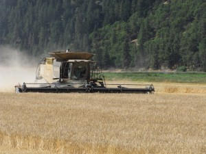 A combine operated by Walker Farms cutting grain at the Running Y near Klamath Falls, Oregon.