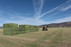 Stacks of dairy-quality alfalfa hay being stacked in field outside Malin, Oregon.