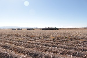 Two potato trucks follow a spud truck and a belt trailer being filled with organic chipping potatoes.
